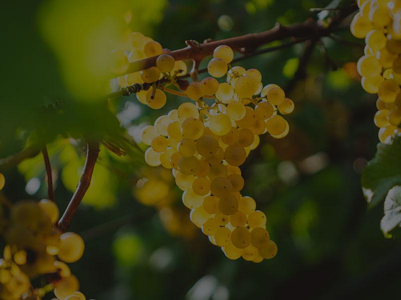 Uva Vinificación